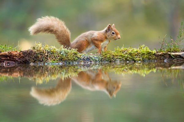 Red Squirrels:<br/>On the Move
